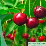 preço de mudas de cereja Botucatu