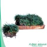 qual o valor da muda de grama preta Jurubatuba