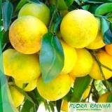 qual o valor de muda de laranja lima Mongaguá