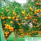 qual o valor de muda de laranja pera Peruíbe