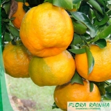qual o valor de muda de tangerina ponkan Cidade Ademar