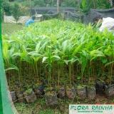 quanto custa muda de palmeira açaí Iguape