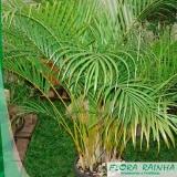 quanto custa muda de palmeira areca bambu Cidade Líder