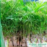 quanto custa muda de palmeira jussara Água Funda