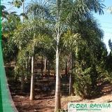 quanto custa muda de palmeira rabo de raposa Guaianases