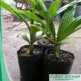 quanto custa muda de palmeira real São José do Rio Preto