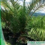 quanto custa muda de palmeira tamareira Jaraguá
