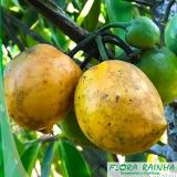 quero comprar muda de mangostão Cidade Dutra