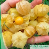 quero comprar muda de physalis Parque Colonial