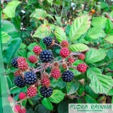 Mudas de Frutas