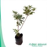 valor muda de tumbérgia arbustiva Jabaquara