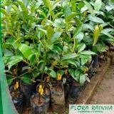 venda de muda de mangostão Piracicaba