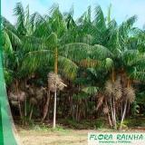venda de muda de palmeira açaí Cidade Dutra
