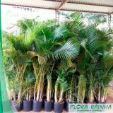 venda de muda de palmeira areca bambu Pacaembu