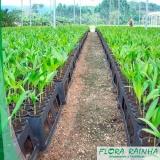 venda de muda de palmeira imperial Vila Andrade