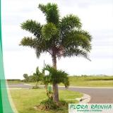 venda de muda de palmeira rabo de raposa Parque São Lucas