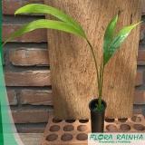 venda de muda de palmeira real Anália Franco