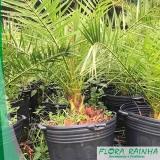 venda de muda de palmeira tamareira Piqueri