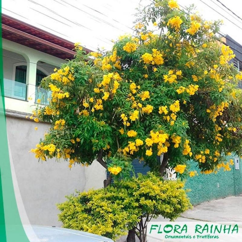 Valor da Muda de Ipê Amarelo Jardins - Muda de Paineira