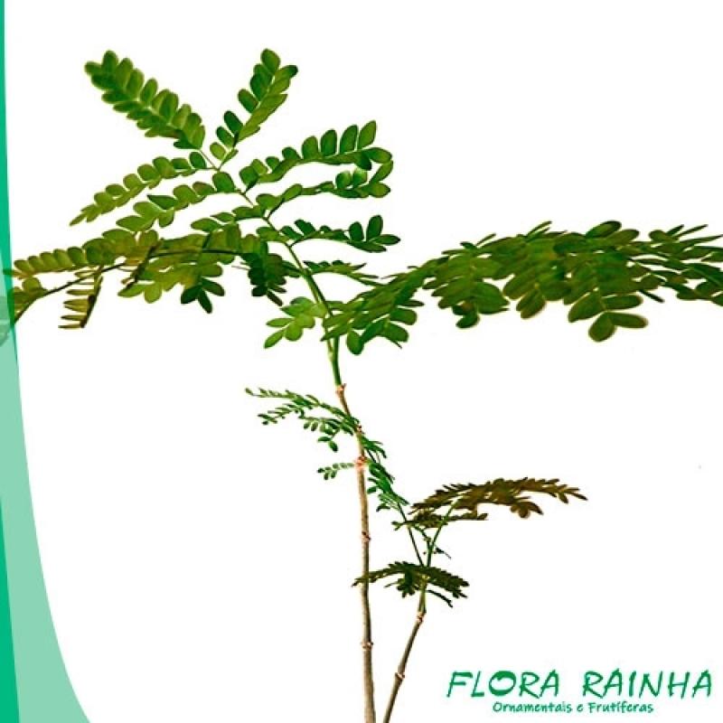 Valor da Muda de Sibipiruna Pompéia - Muda de Paineira