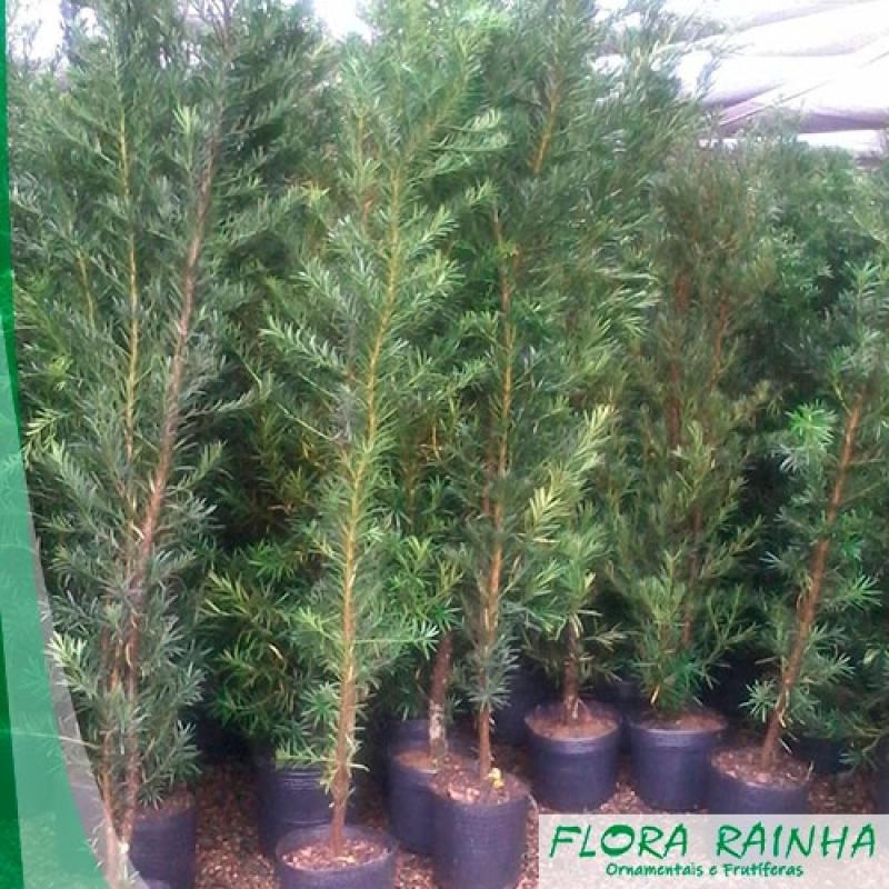 Valor Muda de Podocarpos Cambuci - Muda de Bambusa