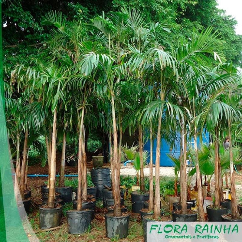 Venda de Muda de Palmeira Jussara Água Branca - Muda de Palmeira Leque