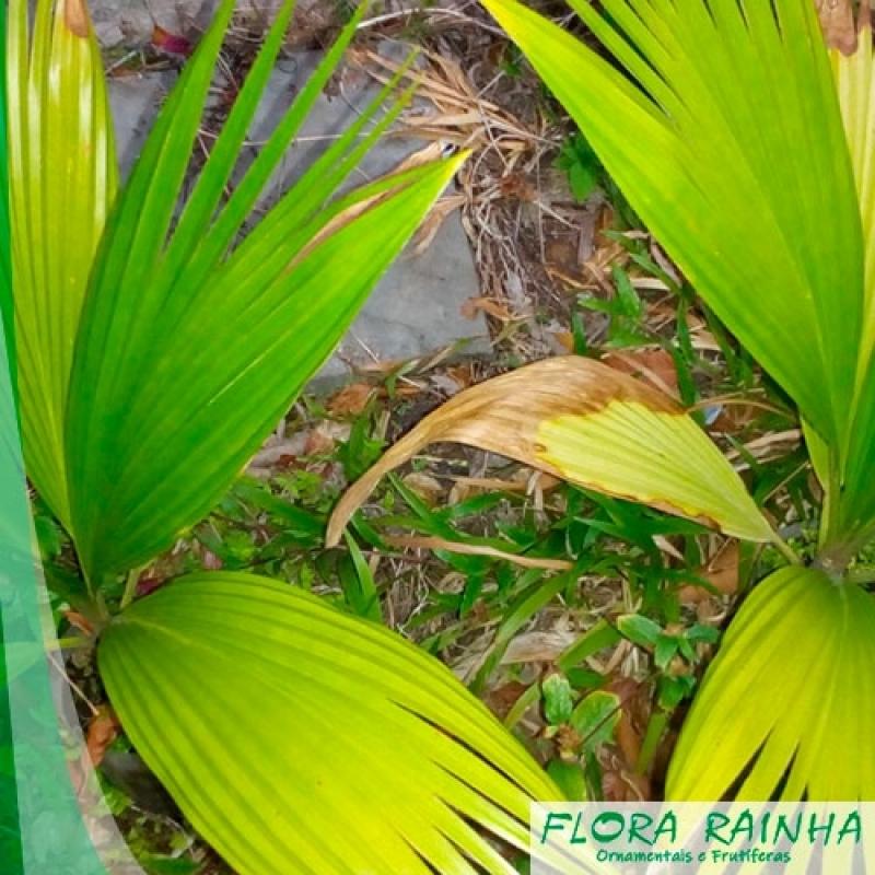 Venda de Muda de Palmeira Leque Zona Oeste - Muda de Palmeira Leque