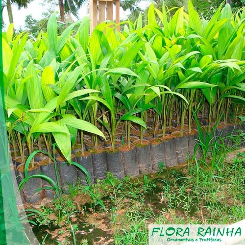 Venda de Muda de Palmeira Pupunha Brás - Muda de Palmeira Washingtônia