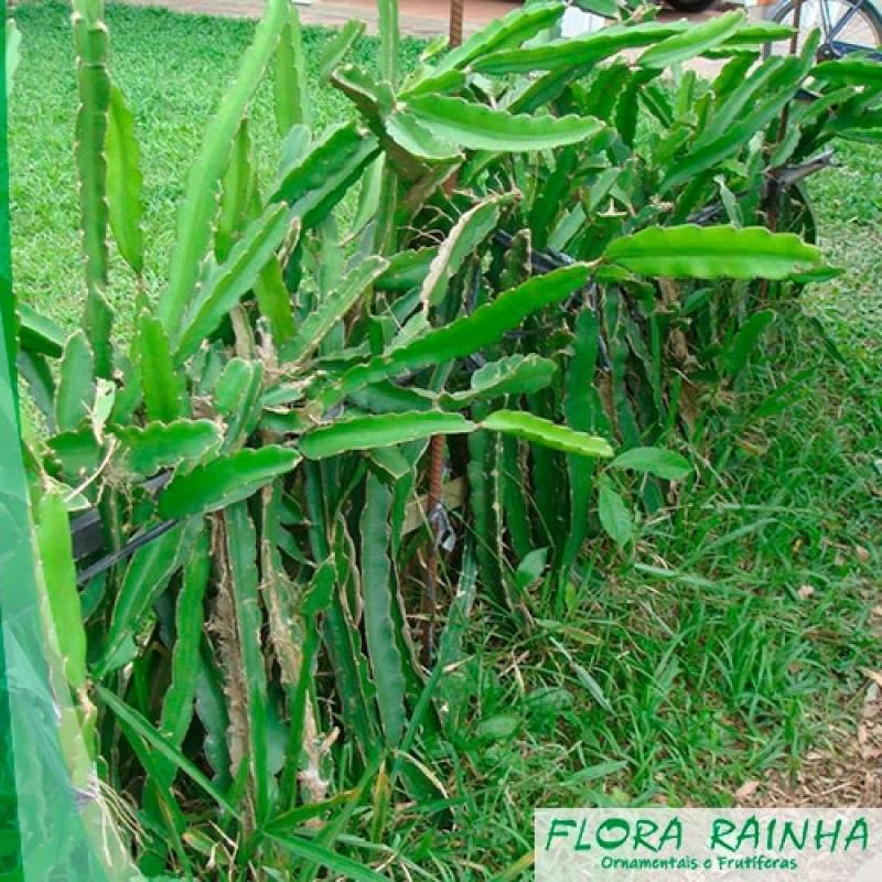 Venda de Muda de Pitaya Jardim Morumbi - Muda de Cambucá